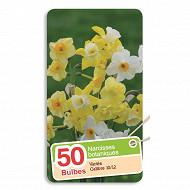 Narcisse botanique mélange 10/12 x50