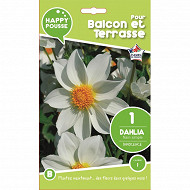 Happy pousse dahlia nain simple innocence calibre 1 x1
