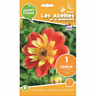 Happy pousse dahlia collerette pooh calibre 1 x1