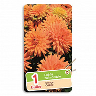 Dahlia nain double orange x1