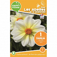 Dahlia nain simple nimbus x1 calibre 1