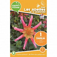 Dahlia honka surprise x1 calibre I