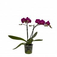 Orchidée phalaenopsis 2 tiges pot de 9 cm
