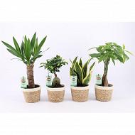 Plantes vertes résistantes mix diam12cm en panier Noah