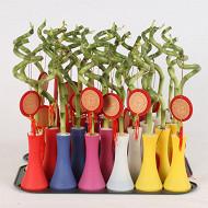 Lucky bambou spiral en vase plastique + pendentif chinois