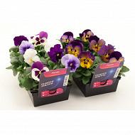 Pensées nuance barquette de 8 plants godets de 7 cm