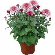 Marguerite d'automne pot de 0,5l
