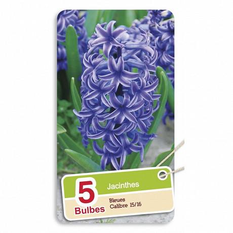 Jacinthe bleue 15/16 x5