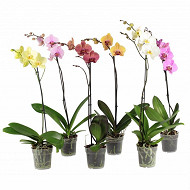 Phalaenopsis 1 tige pot de 12 cm ht 40-50 cm