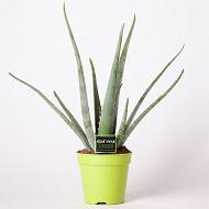 Aloe vera en pot de 15cm