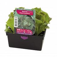 Batavia rouge grenobloise 12 plants