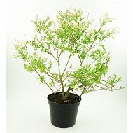 Salix intefra hakuro nishiki c3L