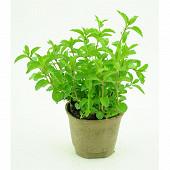 Menthe verte bio pot 1 litre biodégradable