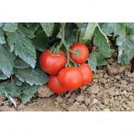Tomate paola bio pot 1 litre