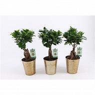 Ficus ginseng dans un pot décoré doré