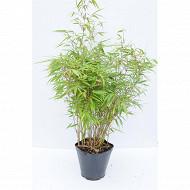 Bambou fargesia rufa c4l
