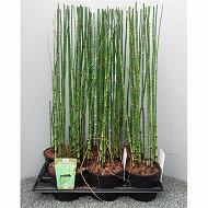 Equisetum pot de 17 cm conteneur de 2 litres 60/+