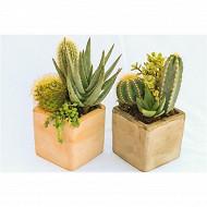 Cactus et succulentes cube 10 cm