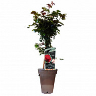 Rosa rosier grimpant boutons fleuris Varié 7L