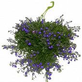 Lobelia annuel suspension diamètre 27 cm couleur avec réserve d'eau