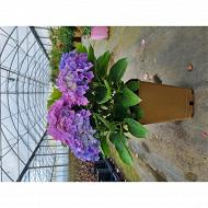 Hydrangea hortensia boutons fleuris hortensia d'anjou rouge