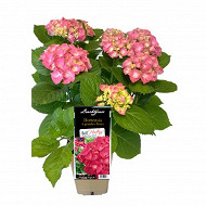 Hydrangea hortensia boutons fleuris rose