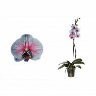 Phalaenopsis 1 branche teintée royal bubblegum diamètre 12cm