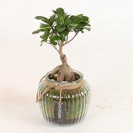 Ficus Ginseng en pot verre
