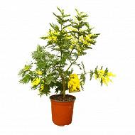 Mimosa gaulois pot 15cm - c1.3l - touffe 40/45cm