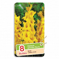 Glaïeul grande fleur jaune 12/14 x8