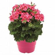 Géranium  pretty little pot 4.6l