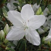 Azalée japonaise blanche c5l