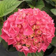 Hydrangea macrophylla primeur force rouge c5l