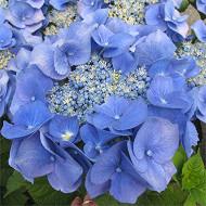 Hydrangea macrophylla primeur force bleu c5l
