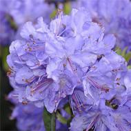Rhododendron nain bleu c.4l
