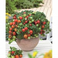 Tomate verino pot 3 litres