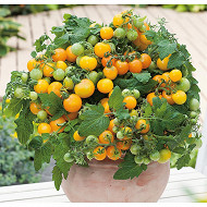 Tomate primagold pot 3 litres