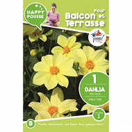 Happy pousse dahlia nain simple sable d'or Ix1