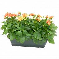Dahlia jardiniere 50 cm