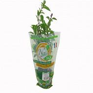 Basilic thaï bio