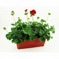 Geranium  calliope jardiniere 40 cm