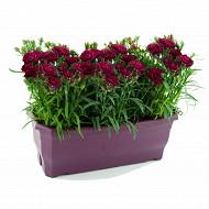 Dianthus colores jardinière 40 cm
