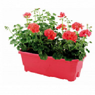 Geranium marcada jardiniere 40 cm
