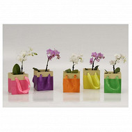 Mini Phalaenopsis 1tige + sac jute coloré