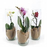 Orchidee phalaenpsis 1 tige pot de 09cm vase verre