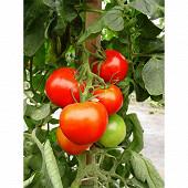 Tomate pyros bio pot 1 litre