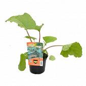 Rhubarbe pot de 13 cm 1 litre