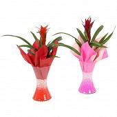 Guzmania pot de 9 cm dans vase verre avec gel coloré