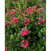 Escallonia varies c 4/4,5