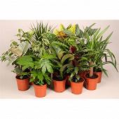 Plantes vertes variées pot diam 17cm ht 40-75 cm